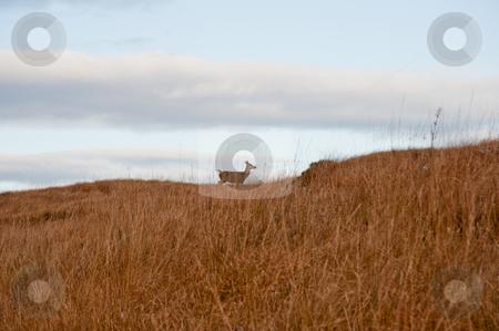 Deer stock photo, Deer on Jura hillside by Jaime Pharr