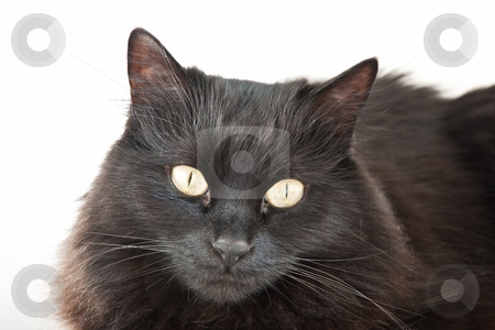 Black cat isolated stock photo, Face of a long hair black cat isolated on white background by ANTONIO SCARPI