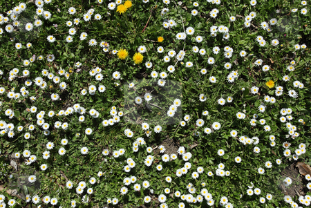 Lots of spring daisy flowers. stock photo, Lots of spring daisy flowers. by Stephen Rees