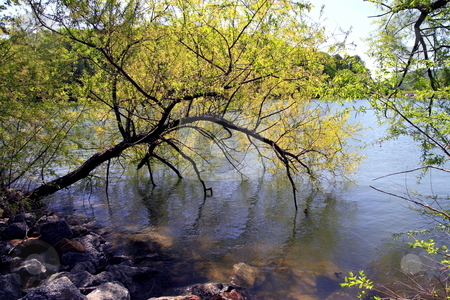 Spring Bloom stock photo, Nature scenery of tree blooming it?s leaves over water by Jack Schiffer