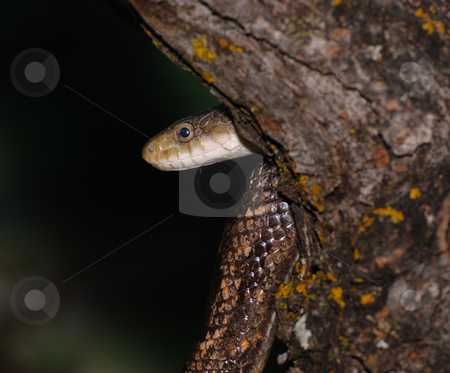 Snake stock photo, A snake in a tree shot at night in the forest by Richard Nelson