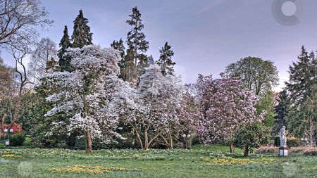 Cherry blossom, HDR Version stock photo, Cherry blossom in spring, HDR Version, Frankfurt, Germany by Juergen Schonnop