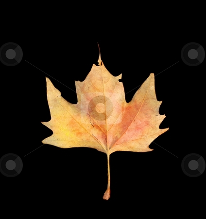 Leaf stock photo, Fallen autumn leaf isolated on black background by P?