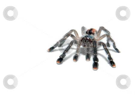 Spider stock photo, Tarantula spider avicularia metallica isolated on white by P?