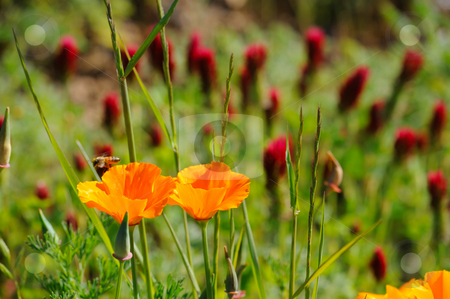 California Poppy And Crimson Clover stock photo, Orange California poppies with colorful Crimson Clover scientific name Trifolium incarnatum (Fabaceae) in the background by Lynn Bendickson