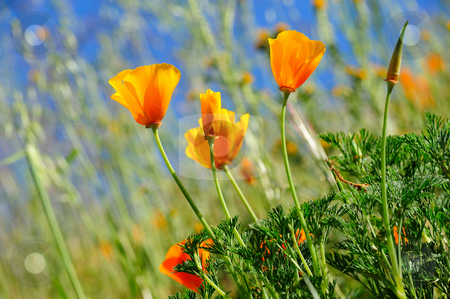 California Poppy And Wild Grasses stock photo, Orange California poppies are sure sign of springtime with a clear blue sky and wild grasses growing in the background by Lynn Bendickson
