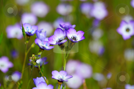 Gilia Tricolor (Polemoniaceae) stock photo, A hardy annual flower that is native to the western United States. The elegant trumpet shaped flowers are lavender and white with golden throats. by Lynn Bendickson