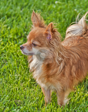 Long Haired Chihuahua stock photo,  by W. Paul Thomas