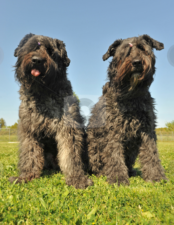 Bouvier des Flandres stock photo, Two dogs