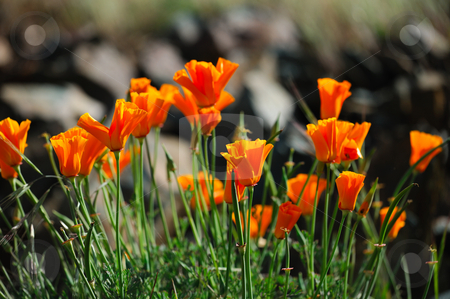 Orange California Poppies stock photo, Close-up of orange California poppies are sure sign of springtime by Lynn Bendickson