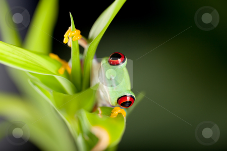 Red eyed frog in nature stock photo, Red eyed tree frog on bamboo branch by Anneke