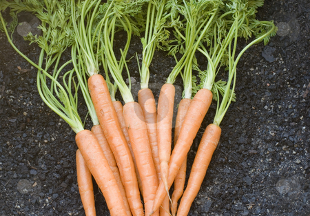 Harvested carrots stock photo, A bunch of carrots complete with leaves on a soil backdrop by Stephen Gibson