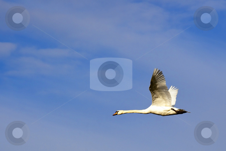 Mute swan in fkight stock photo, A mute swan cygnus olor in flight against a cloudy blue sky by Mike Smith
