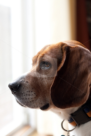 Alert Beagle Dog stock photo, Portrait of a handsome young beagle dog.  Shallow depth of field. by Todd Arena