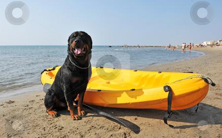 Rottweiler on the beach stock photo, Portrait of a purebred rottweiler on the beach by Bonzami Emmanuelle