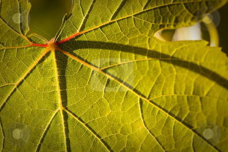 Dramatically Lit Grape Leaf on the Vine stock photo, Dramatically Lit Grape Leaf Details on the Vineyard. by Andy Dean