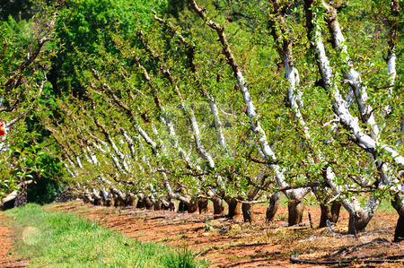 Apple Orchard stock photo, Manicured Apple trees with their trunks painted white to keep sun and heat damage from occurring. Rows of fruit trees separated by dirt and green grass in the California foothills. by Lynn Bendickson