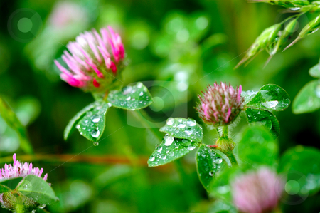 Pink Clover (Trifolium Pratense)  stock photo, Pink Clover flowers covered in water droplets after a spring rain by Lynn Bendickson