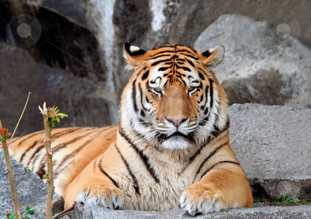 Tiger stock photo, Portait of adult male tiger lying o ground staring. by Martin Crowdy