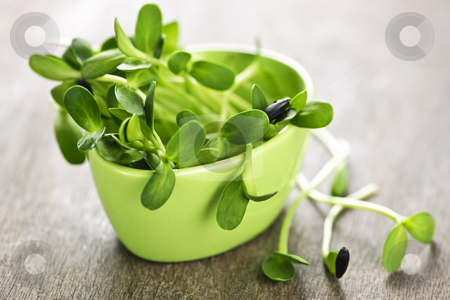 Green sunflower sprouts in a cup stock photo, Organic green young sunflower sprouts in a cup by Elena Elisseeva