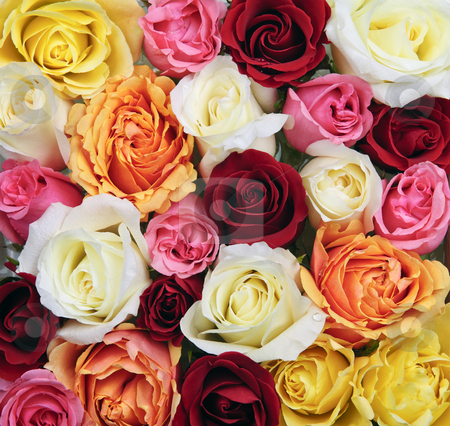 Background of rose blossoms stock photo, Background of assorted multicolored rose flowers from above by Elena Elisseeva