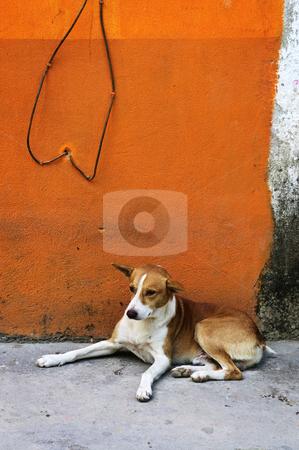 Dog near colorful wall in Mexican village stock photo, Dog resting near colorful wall in Mexican village by Elena Elisseeva
