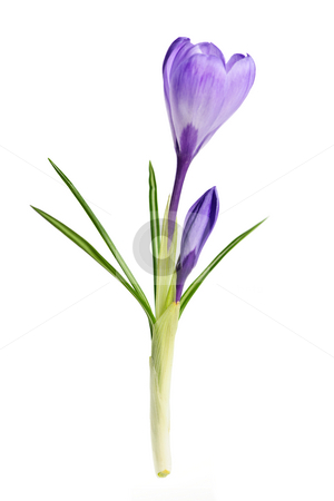 Spring crocus flower stock photo, Purple spring crocus flower isolated on white background by Elena Elisseeva
