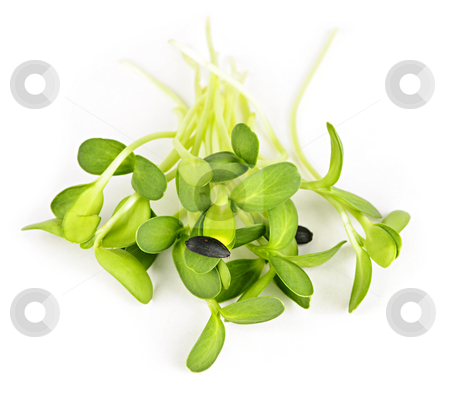 Green sunflower sprouts stock photo, Organic green young sunflower sprouts isolated on white background by Elena Elisseeva