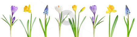 Spring flowers in a row stock photo, Assorted spring flowers in a row isolated on white background by Elena Elisseeva