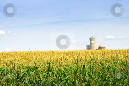 Corn field with silos stock photo, Agricultural landscape of corn field on small scale sustainable farm with silos by Elena Elisseeva
