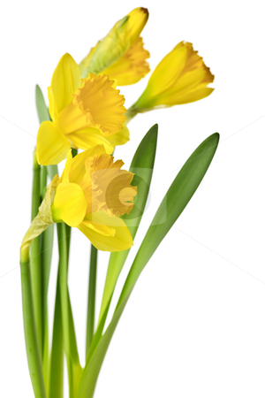 Spring yellow daffodils stock photo, Spring yellow daffodil flowers isolated on white background by Elena Elisseeva