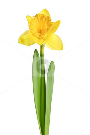 Spring yellow daffodil stock photo, Spring yellow daffodil flower isolated on white background by Elena Elisseeva