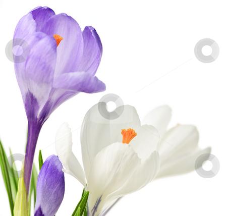 Spring crocus flowers stock photo, White and purple spring crocus flowers isolated on white background by Elena Elisseeva