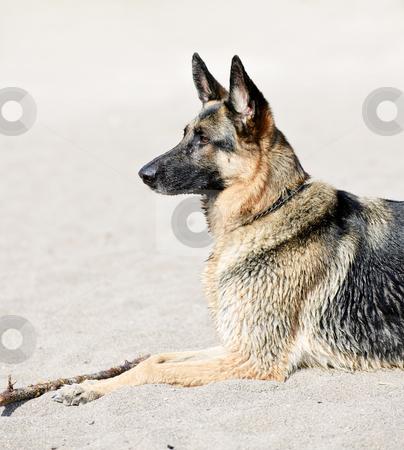 German Shepherd dog on beach stock photo, Healthy German Shepherd dog lying on sandy beach by Elena Elisseeva