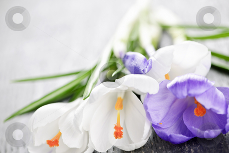 Spring crocus flowers stock photo, Fresh cut white and purple spring crocus flowers by Elena Elisseeva