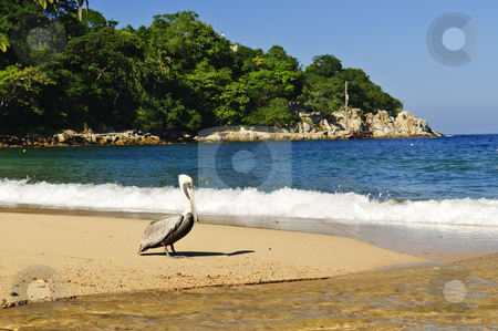 Pelican on beach in Mexico stock photo, Pelican on beach near Pacific ocean in Mexico by Elena Elisseeva