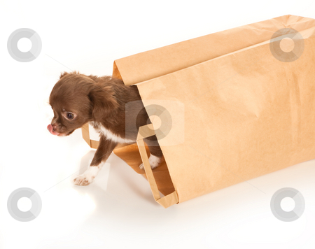 Chihuahua baby in paper bag stock photo, Tiny chihuahua puppy coming out of a brown paper bag by Anneke