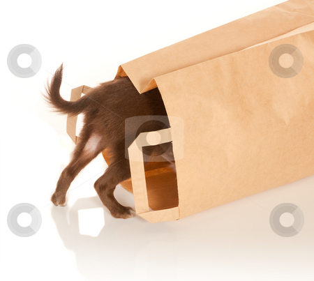 Doggy in a paper bag stock photo, Tiny chihuahua puppy looking into a brown paper bag by Anneke