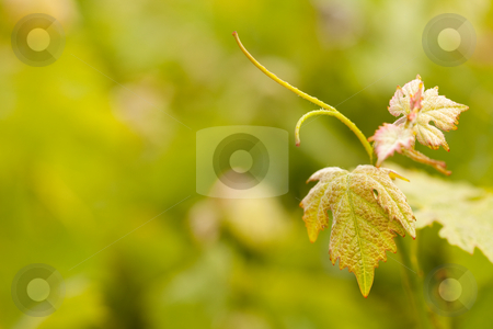 Beautiful Lush Grape Vineyard Leafs stock photo, Beautiful Grape Vineyard Leaves In The Morning Mist and Sun with Room for Your Own Text. by Andy Dean