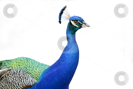 Peacock 2 stock photo, A beautiful male peacock, side view, white background. by Carl Stewart