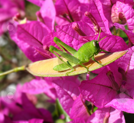 Green Grasshopper in front of Magenta Bougainvillea stock photo, A close up of a green grasshopper perched on a cassia seed pod in front of magenta bougainvillea flowers in bright sunshine. Taken in the early Spring. by Mark Carrel