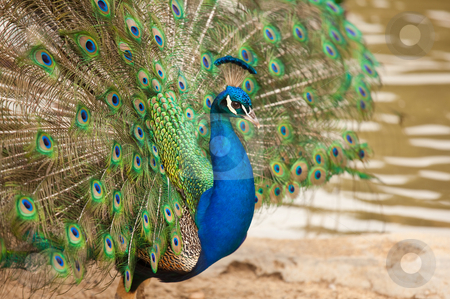 Impressive Peacock with Feathers Spread stock photo, Impressive Proud Peacock with Feathers Spread. by Andy Dean