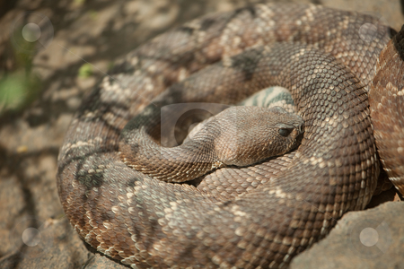 Resting Western Diamondback Rattlesnake stock photo, Western Diamondback Rattlesnake Resting in the Warm Sun. by Andy Dean