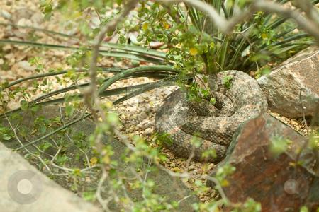 Resting Western Diamondback Rattlesnake stock photo, Western Diamondback Rattlesnake Resting in the Warm Sun. by Andy Dean