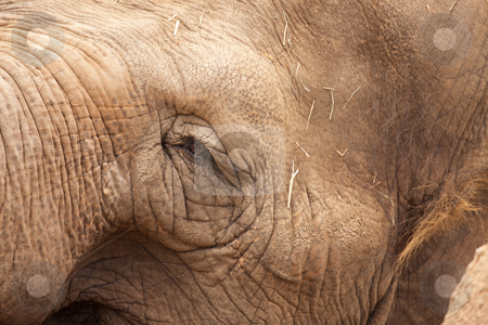 Majestic Elephant Eye Close-Up stock photo, Majestic Endangered Elephant's Eye Close-Up XXL Image. by Andy Dean