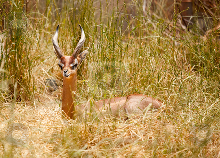 Beautiful Resting Gazelle stock photo, Beautiful Gazelle Resting in the Tall Grass. by Andy Dean