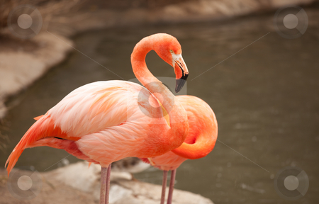 Beautiful Flamingo Couple Rest stock photo, Beautiful Flamingo Couple Rest at the Side of The Water. by Andy Dean