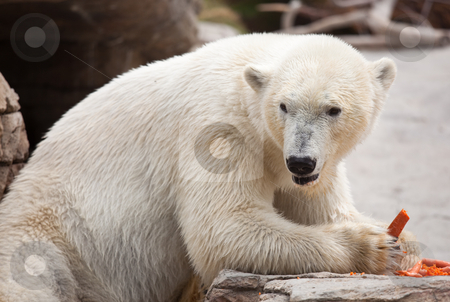 Majestic Polar Bear Eating Carrots stock photo, Beautiful Majestic White Polar Bear Eating Carrots. by Andy Dean
