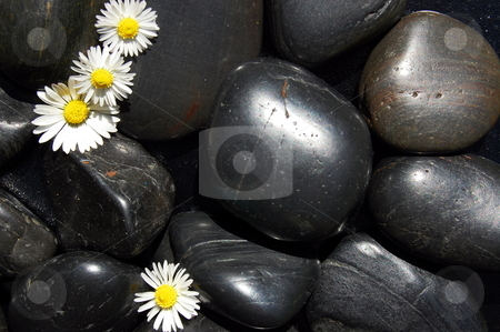 Daisy flowers on black stones stock photo, Happy daisy flowers on black stone background showing health and wellness concept by Gunnar Pippel
