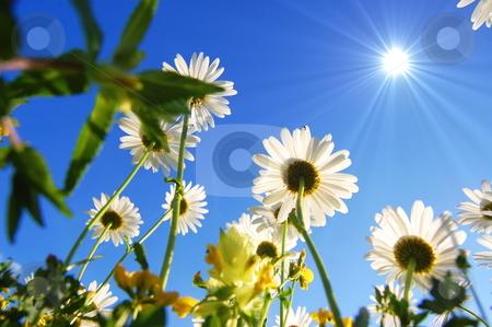 Daisy flower under blue sky stock photo, Daisy flowers from below under blue sky in summer by Gunnar Pippel